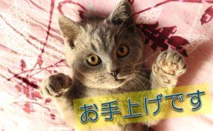 猫_お手上げです